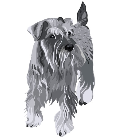 thoroughbred: vector dog breed Miniature Schnauzer color pepper and salt