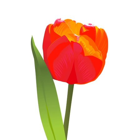 spring flower tulip bright red with a green leaf Stock Vector - 9226071