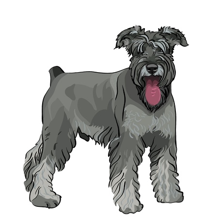 dog breed Miniature Schnauzer color pepper and salt Illustration