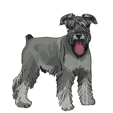 playful: dog breed Miniature Schnauzer color pepper and salt Illustration