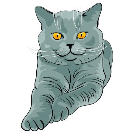 Britse korthaar blue cat ligt leugens en ziet er op een witte achtergrond