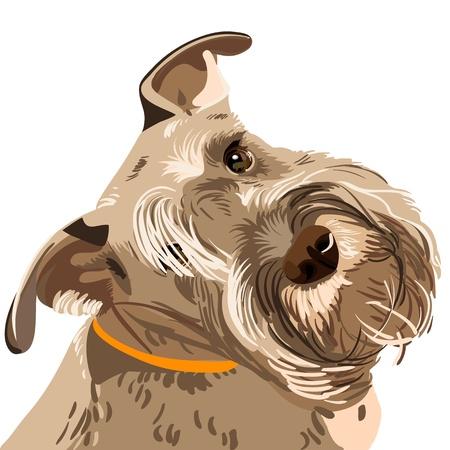 miniature breed: perro barbudo Schnauzer miniatura color de pimienta y sal