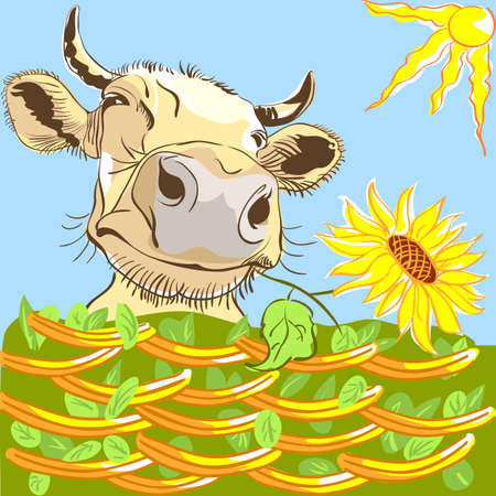 peering: Funny cow peering over fence and chewing sunflower.