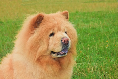 protruding eyes: close-up portrait of a dog chow-chow breed, shallow depth of field Stock Photo