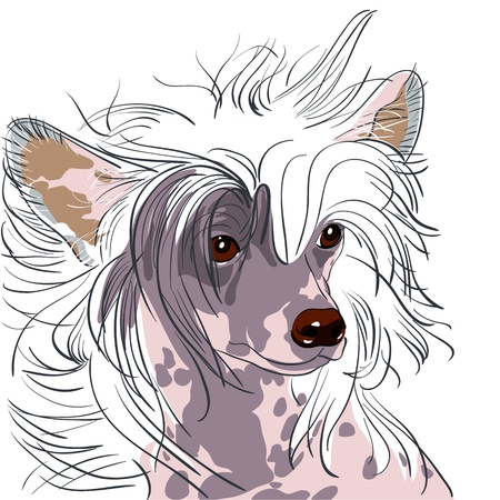 close-up portrait of a dog Chinese Crested breed Vector