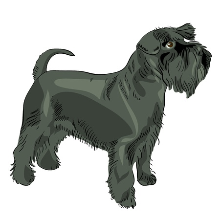 dog breed Miniature Schnauzer black Vector