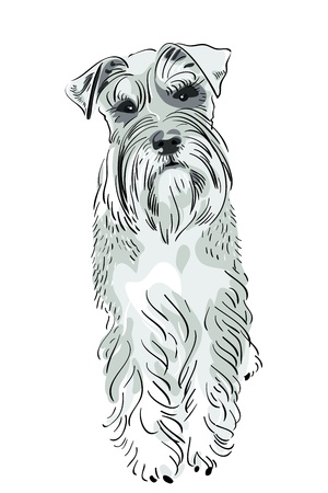 white trim: dog breed Miniature Schnauzer salt-and-pepper color seriously looking Illustration