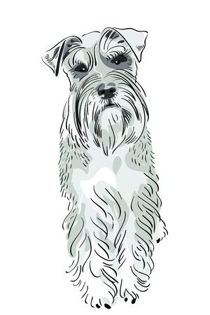 hondenras Dwergschnauzer peper-en-peper kleur serieus op zoek