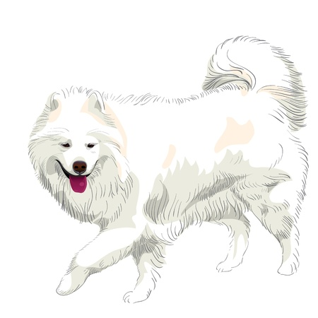 pedigreed: fluffy white Samoyed dog runs and smiles