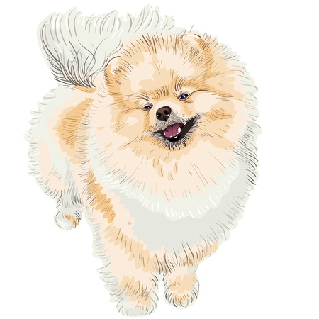 fluffy: pedigreed dog German Toy Pomeranian is looking up, smiling