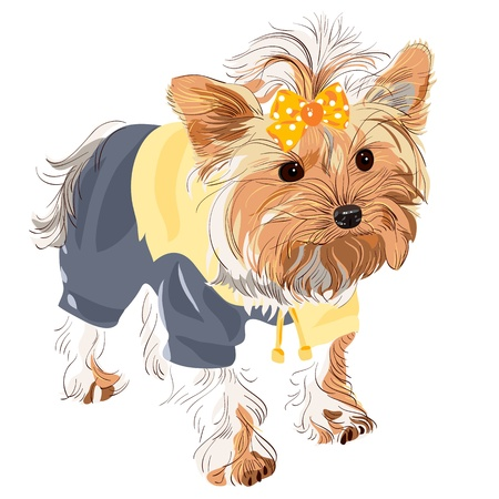 yellow jacket: Yorkshire terrier red color with a yellow bow in a yellow jacket and black pants