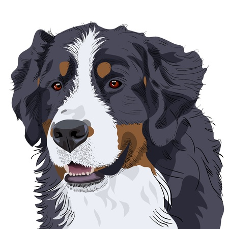 longhaired: color sketch of a close-up dog breed Bernese Mountain Dog Illustration