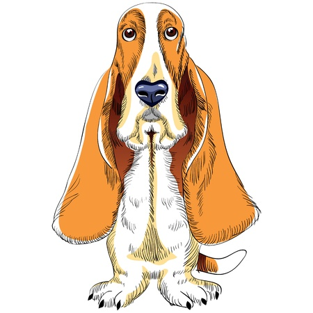 basset hound: color sketch of the dog Basset Hound breed sitting