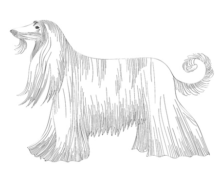 borzoi: sketch of the dog Afghan hound breed  Illustration
