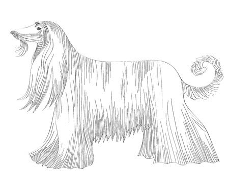 afghan: sketch of the dog Afghan hound breed  Illustration