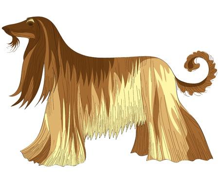 부드러운 털의: 개 아프간 하운드 품종의 벡터 색 스케치