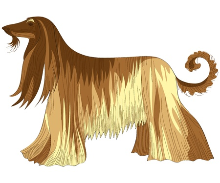 long tail: vector color sketch of the dog Afghan hound breed