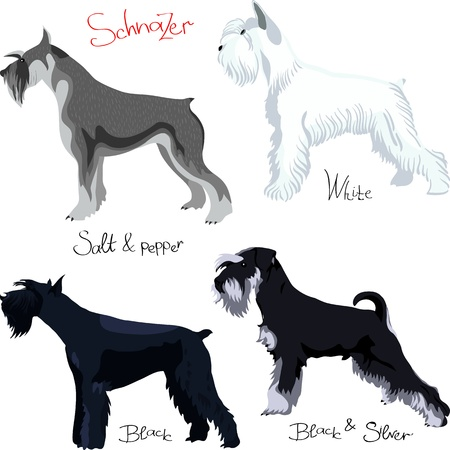 docking: schnauzer colors: white, black, salt and pepper, black silver, isolated on white background Illustration