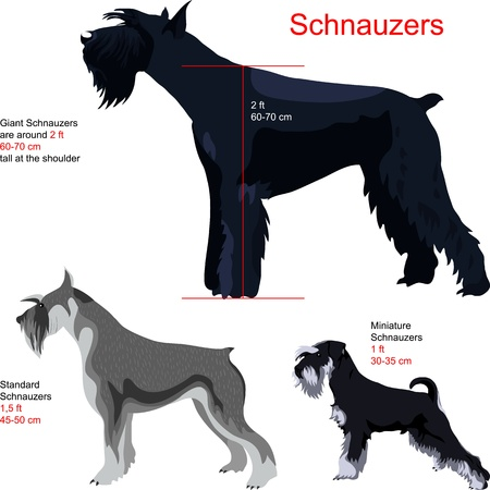 docking: schnauzer breed: Giant Schnauzer; Standart Schnauzer; Miniature Schnauzer, isolated on white background