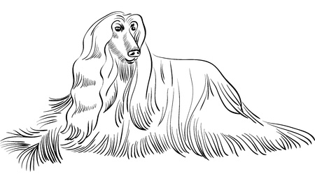 afghan hound: black and white sketch of the dog Afghan hound breed lying
