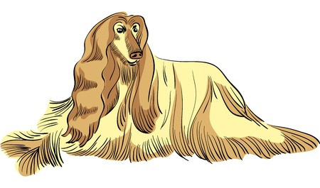 afghan hound: color sketch of the dog Afghan hound breed lying