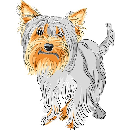 hairy adorable: closeup color sketch Yorkshire terrier red and black  Illustration