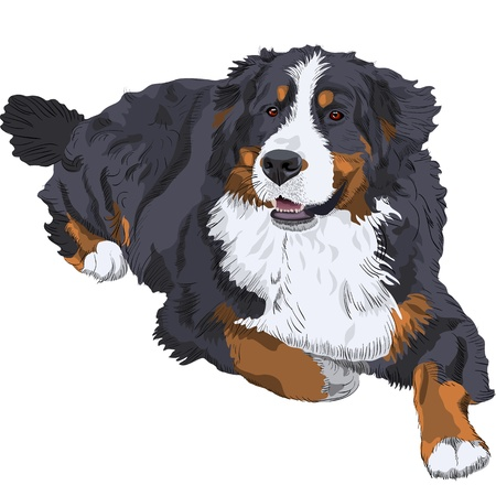 longhaired: color sketch of a close-up dog breed Bernese Mountain Dog lying