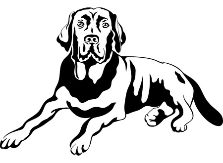 black labrador: black and white sketch a portrait of a close-up of serious dog breed labrador retrievers lies