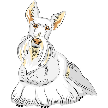 scottish terrier: dog breed Scottish Terrier  wheat colored on the white background