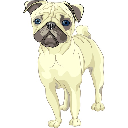 wrinkly: color sketch of the dog fawn pug breed  Illustration