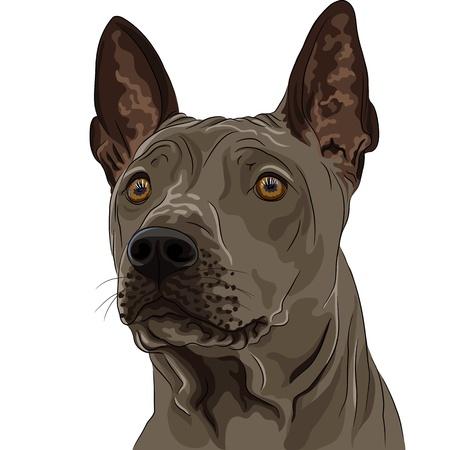 surprised dog: closeup color sketch Thai Ridgeback Dog breed of red color  Illustration