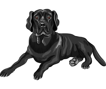 color sketch of the serious dog breed black labrador retrievers lies isolated on the white background Vector