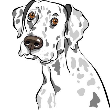 dalmata: schizzo del ritratto del cane di razza dalmata primo piano Vettoriali