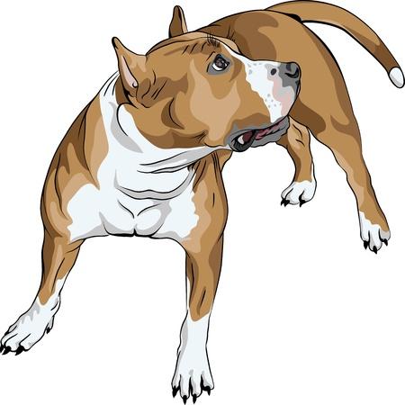 """szkic psa rasy Staffordshire Terrier amerykaÅ""""skiej Zdjęcie Seryjne - 12798359"""