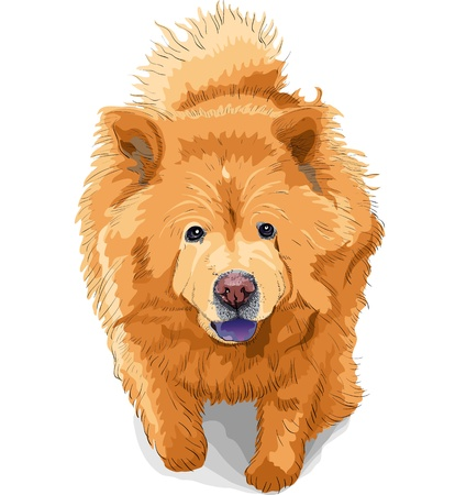 long tongue: color sketch dog chow-chow runs breed isolated on the white background