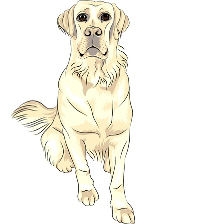 color sketch closeup portrait of serious dog breed white labrador retrievers Stock Vector - 13110889