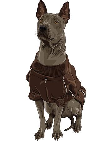 ridgeback: color sketch Thai Ridgeback Dog breed of red color in a brown jacket