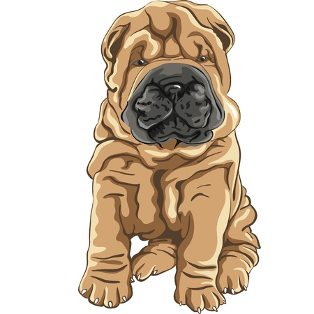 color sketch of a close-up dog breed Shar Pei Dog puppy sitting