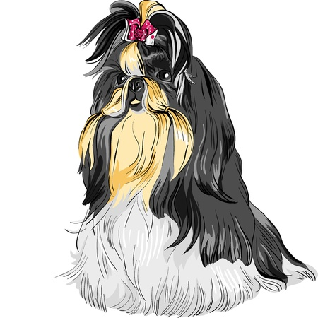 hairy adorable: color sketch of the dog Shih Tzu  dog-lion; dog-chrysanthemum  Chinese breed  Illustration