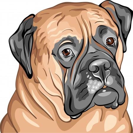 bullmastiff: closeup serious bullmastiff portrait