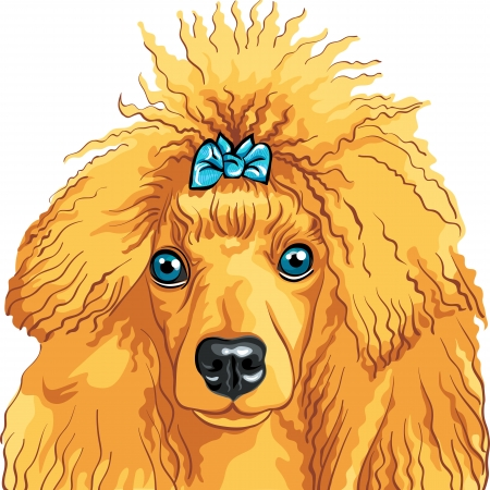 vector color sketch of the dog red Poodle breed isolated on the white background Vector