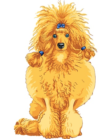 color sketch of the sitting dog red Poodle breed isolated on the white background Illustration