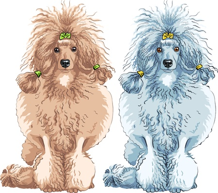 poodle: color sketch of the dog brown and white Poodle breed sitting, isolated on the white background
