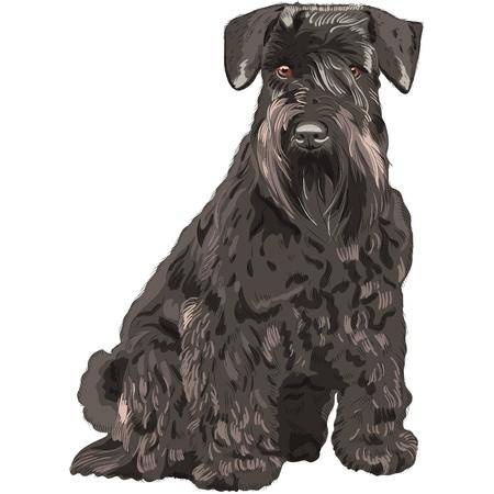 miniature breed: perro de raza Schnauzer miniatura de color negro aislado en el fondo blanco