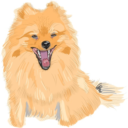 miniature breed: pedigr� del perro de Pomerania alemana de los juguetes est� sentado y sonriente