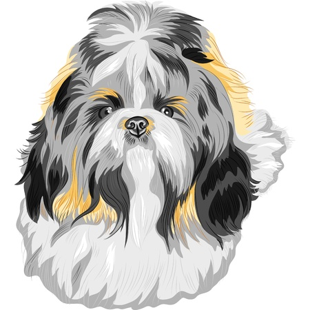 shih: color sketch of the dog Shih Tzu (dog-lion; dog-chrysanthemum) Chinese breed  Illustration