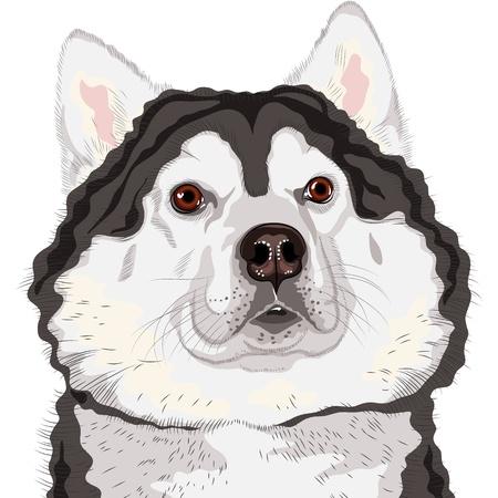 alaskabo: closeup portrait of a dog  Alaskan Malamute breed  Illustration