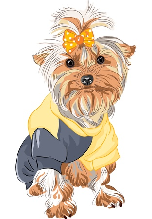 shaggy dog: color sketch Yorkshire terrier red and black sitting