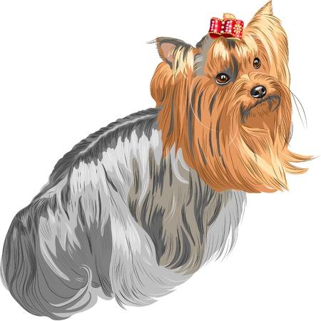 yorkshire: color sketch Yorkshire terrier red and black sstands back and looks over his shoulder