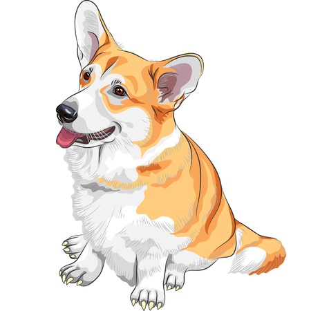 furry tail: color sketch of the dog Pembroke Welsh corgi breed sitting and smiling